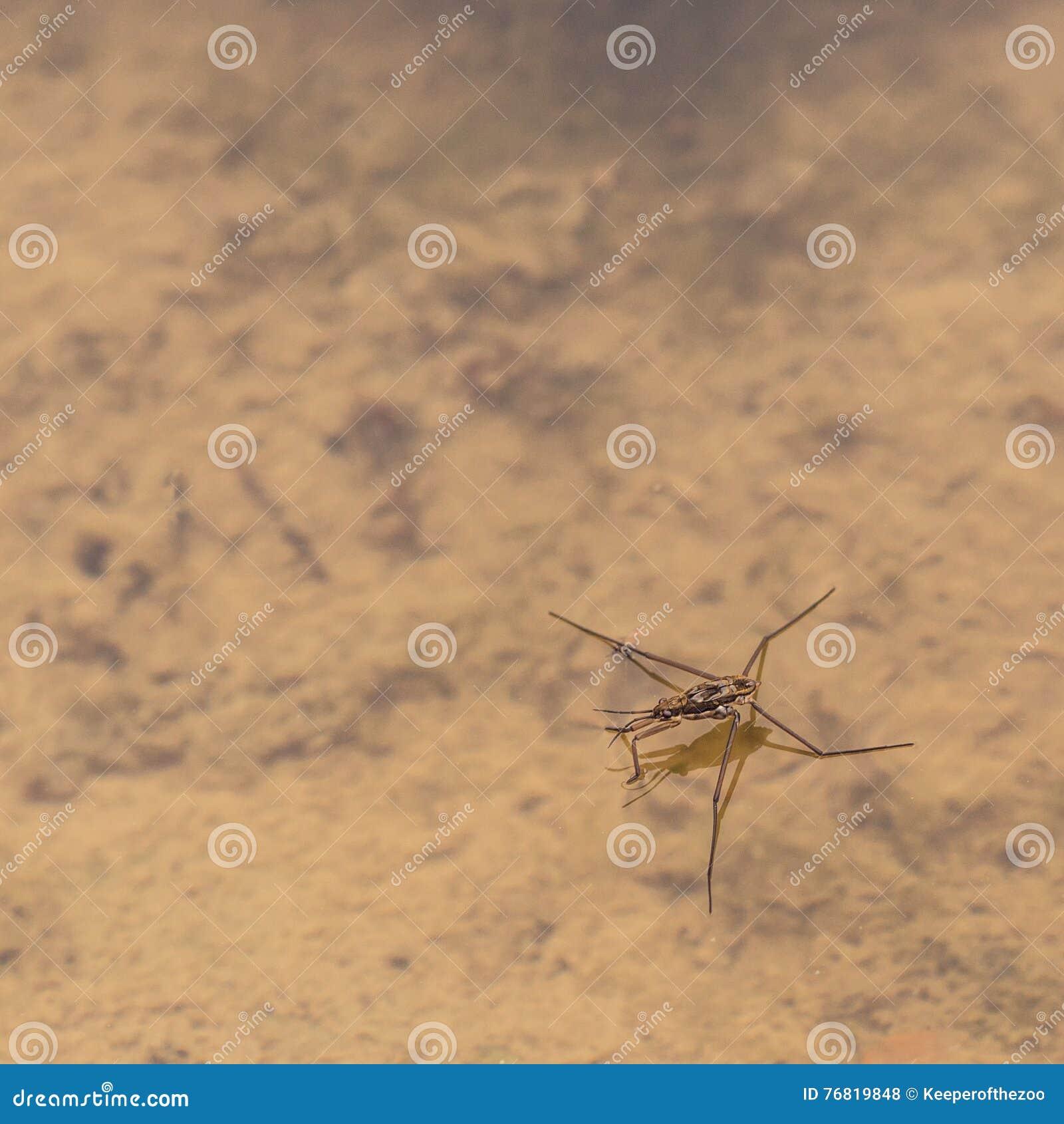 Water Strider on Pond