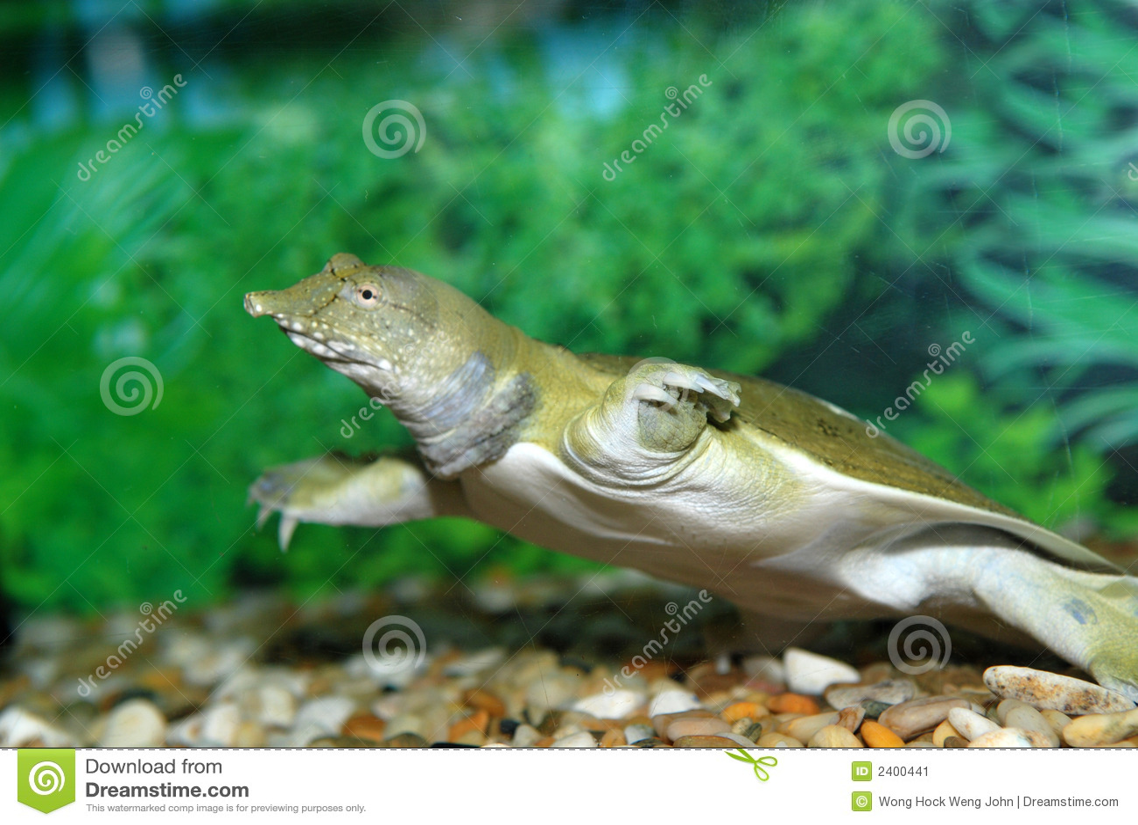 Water Tortoise Stock Image - Image: 2400441