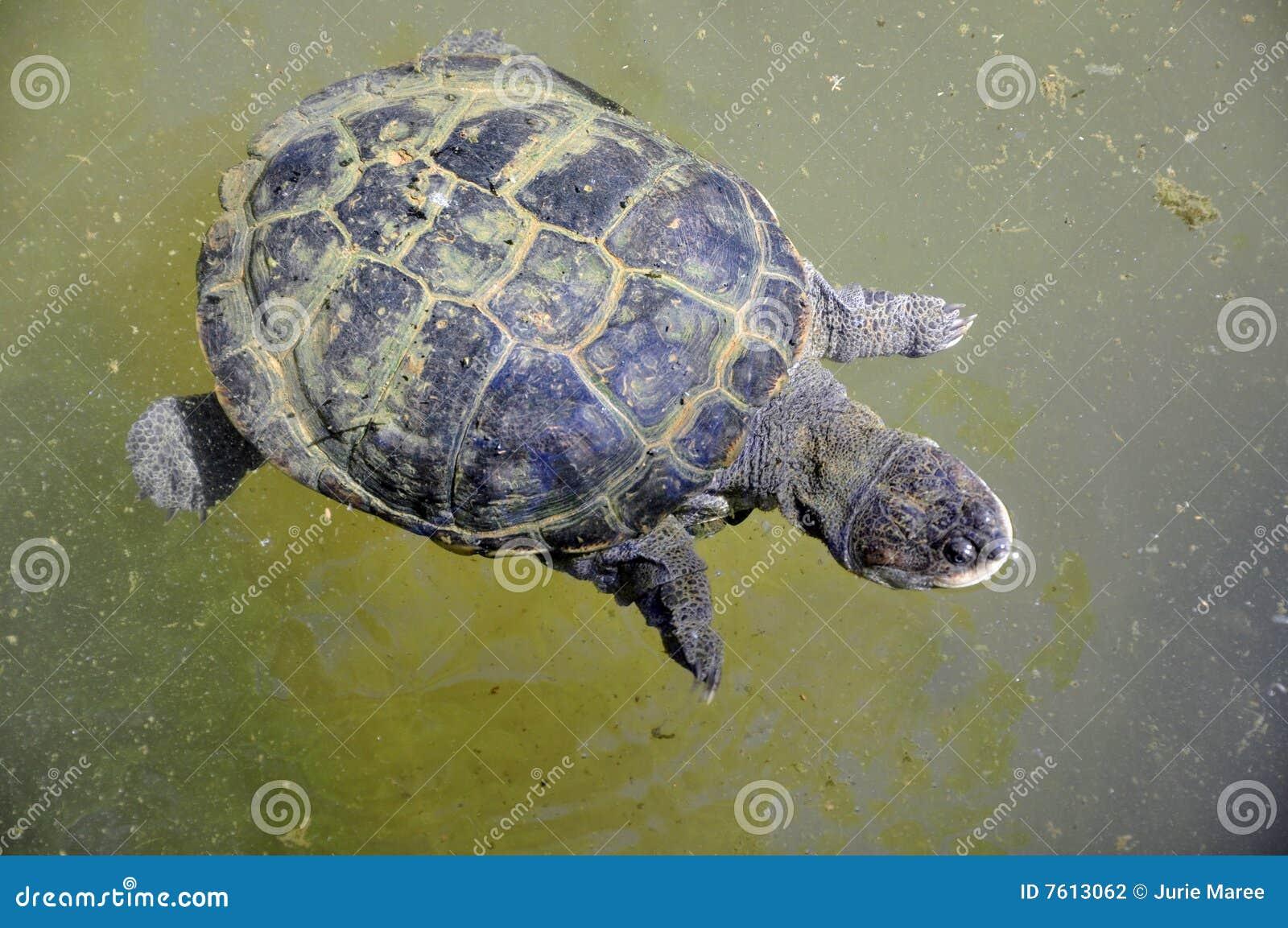 Water Tortoise Stock Photography - Image: 7613062