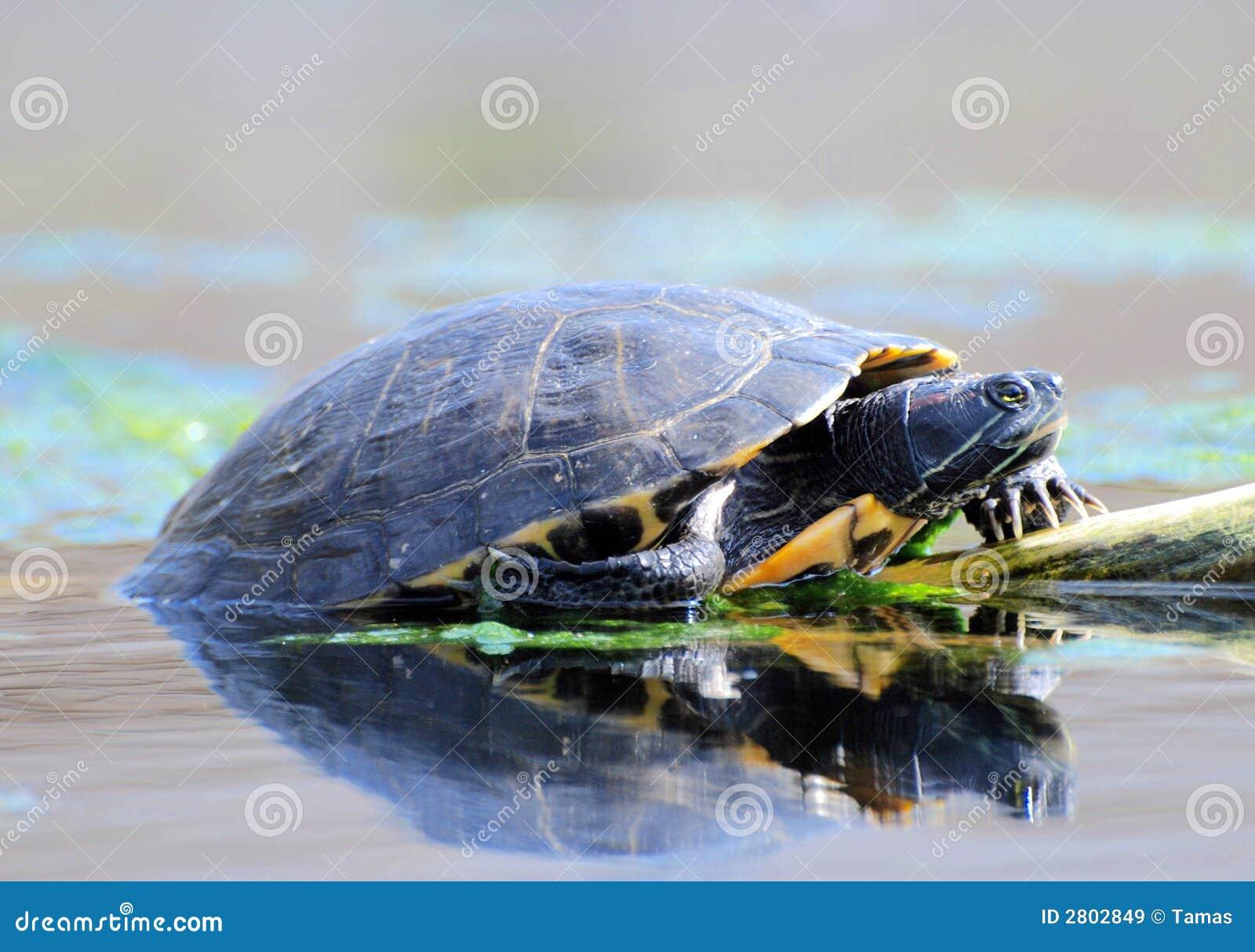 Water Turtles Royalty Free Stock Images - Image: 2802849