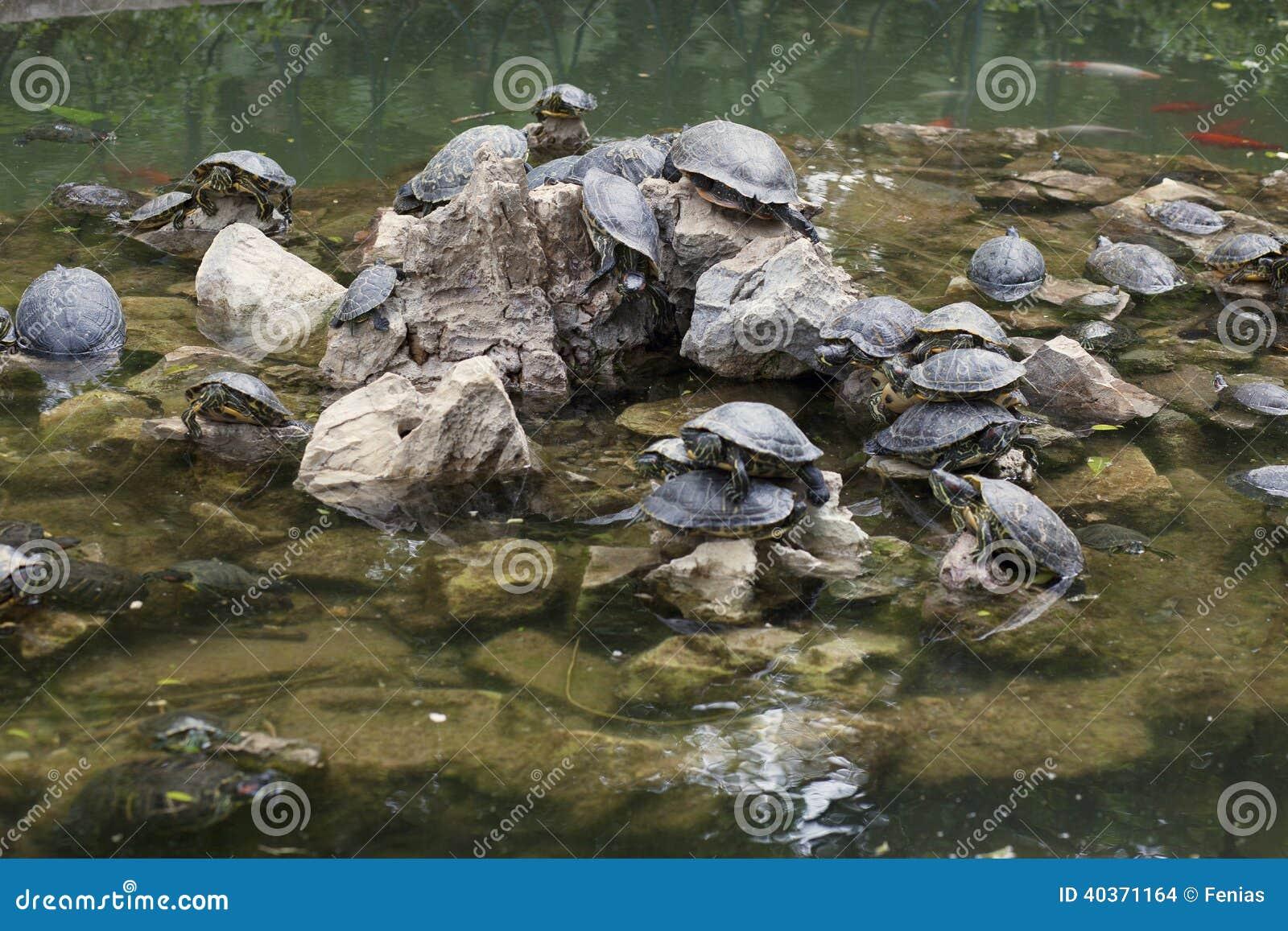 Water Turtles Stock Photo - Image: 40371164