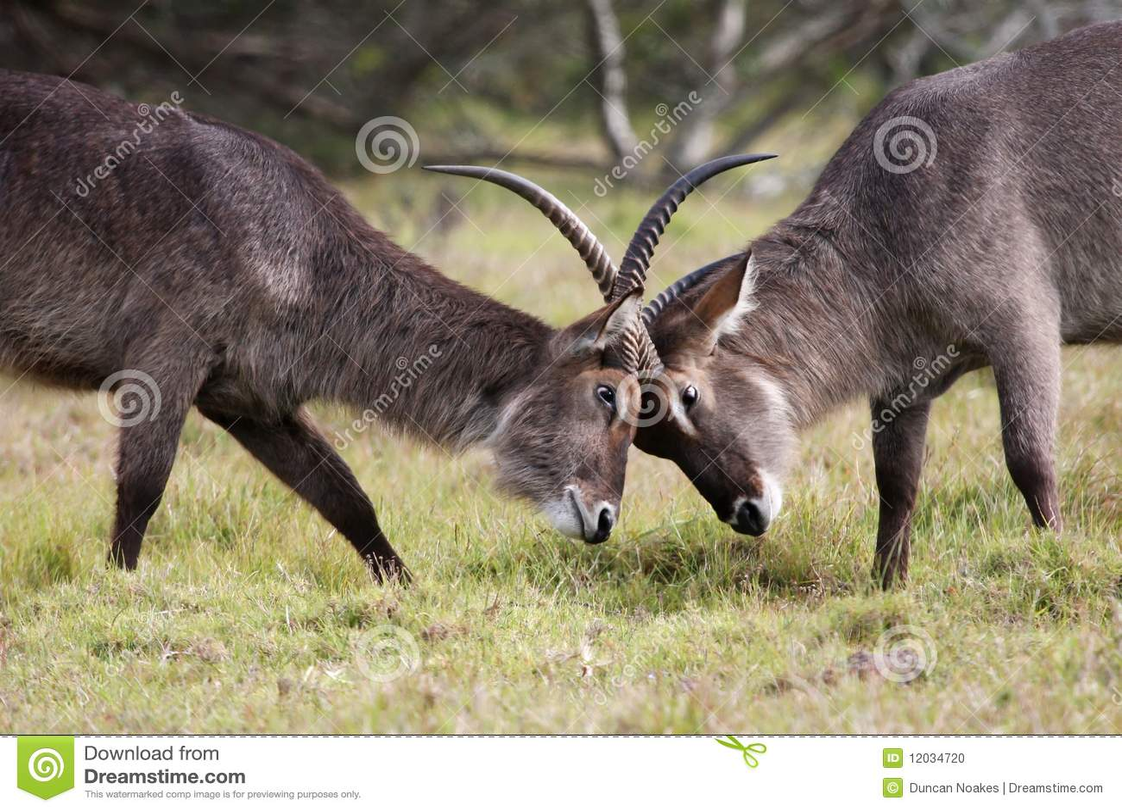 Waterbuck Antelope Fight