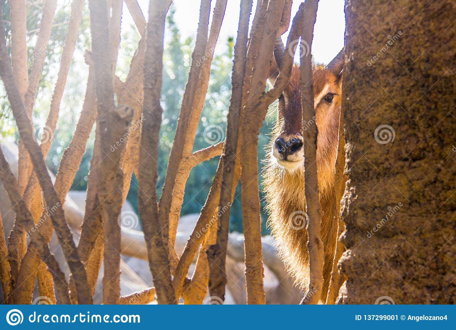 Waterbuck antilop, Kobusellipsiprymnus, bak ett trästaket i en zoo