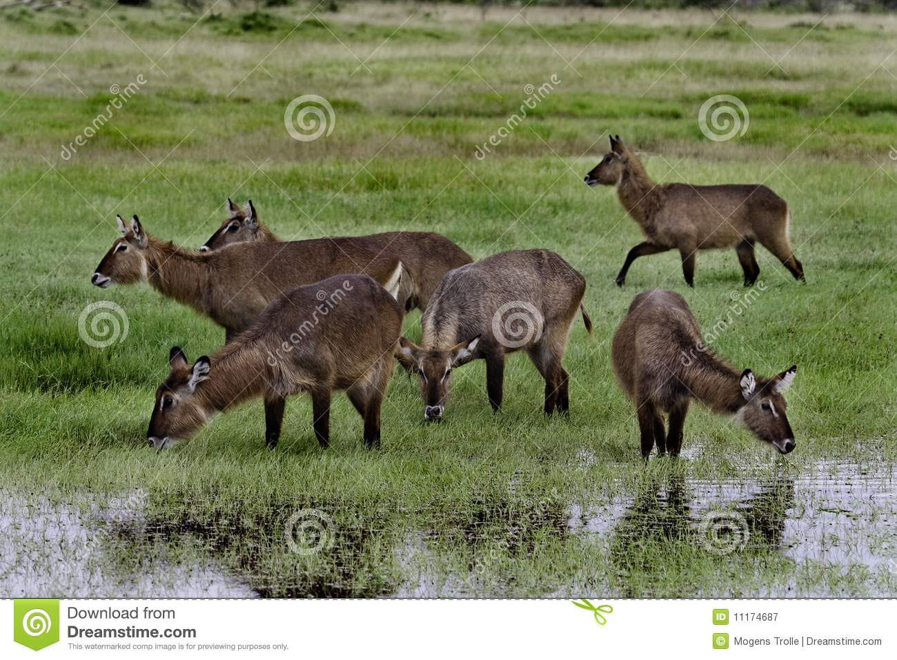Waterbuck females drinking