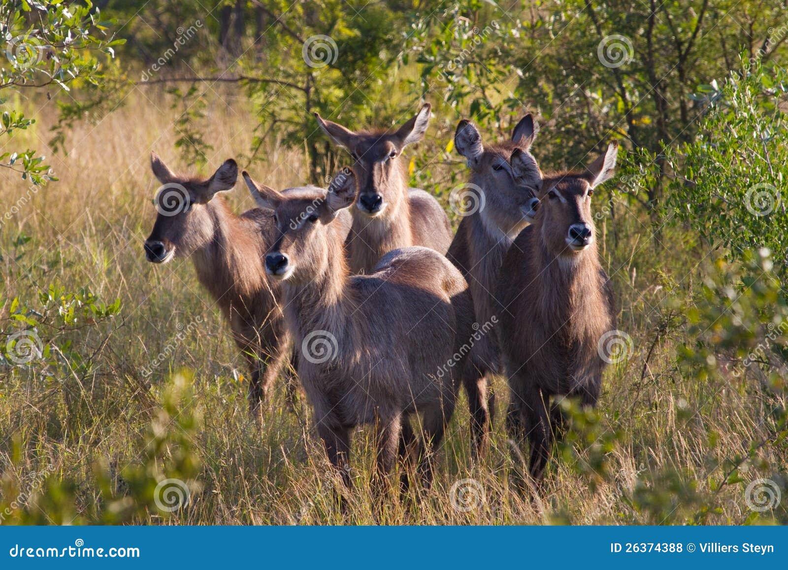 Waterbuck Herde