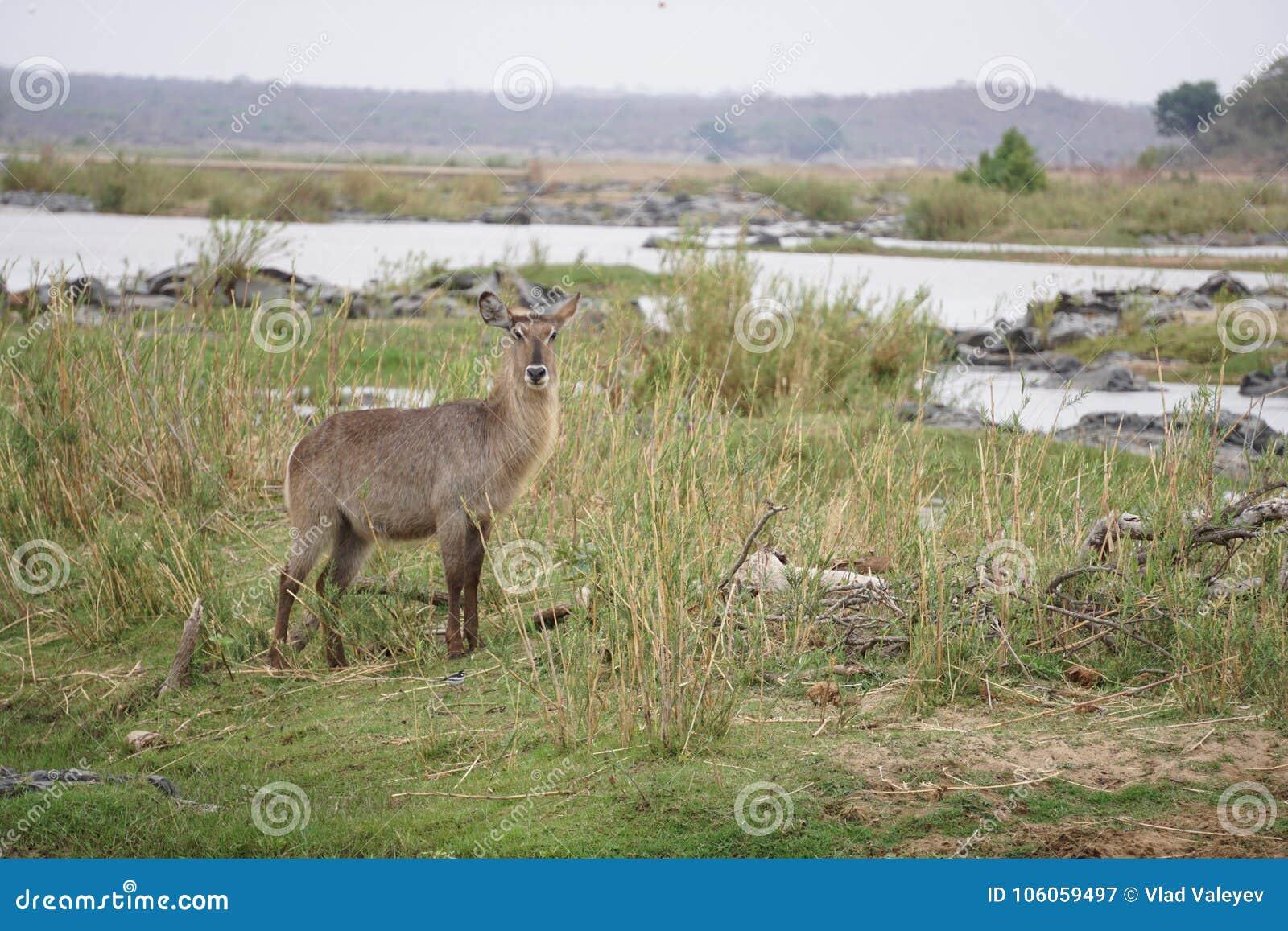 Waterbuck i den Kruger nationalparken