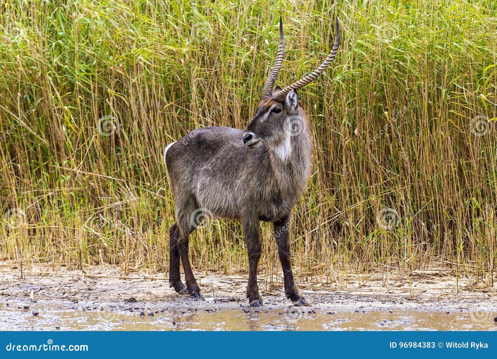Waterbuck, iSimangaliso Sumpfgebiet-Park