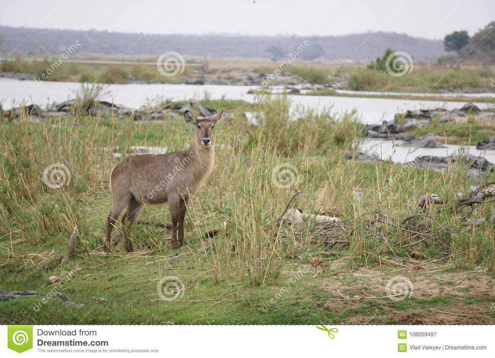 Waterbuck no parque nacional de Kruger