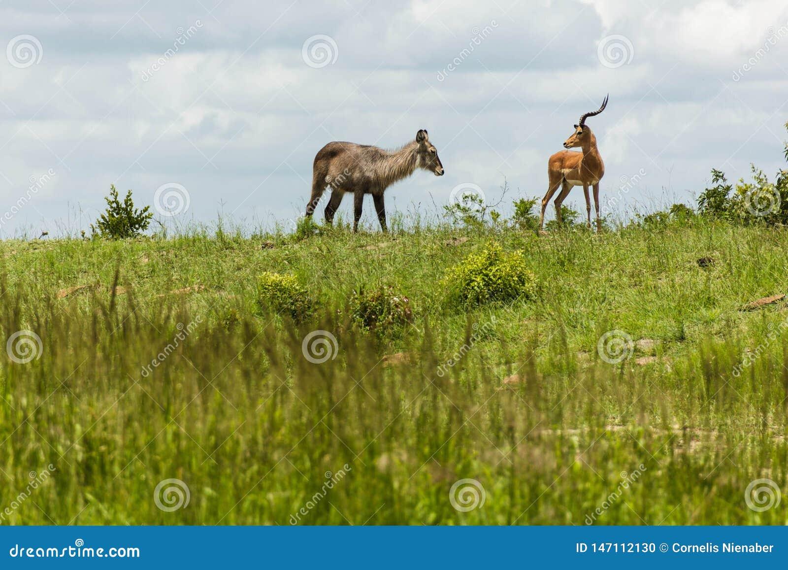 Waterbuck och impalaantilopväxelverkan