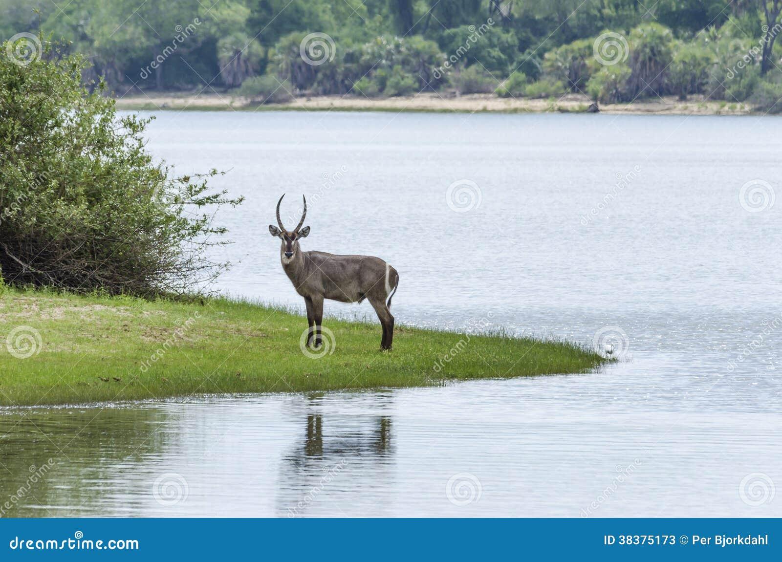 Waterbuck in Selous