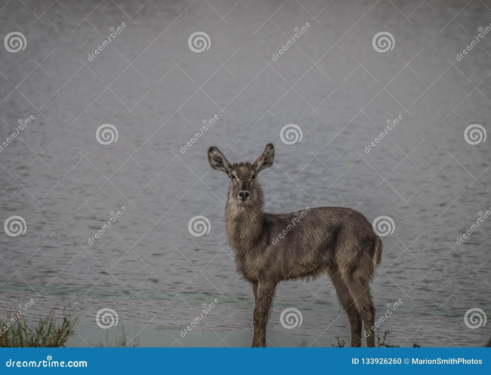 Waterbuck solitaire se tenant en longueur au bord de l eau et regardant la caméra