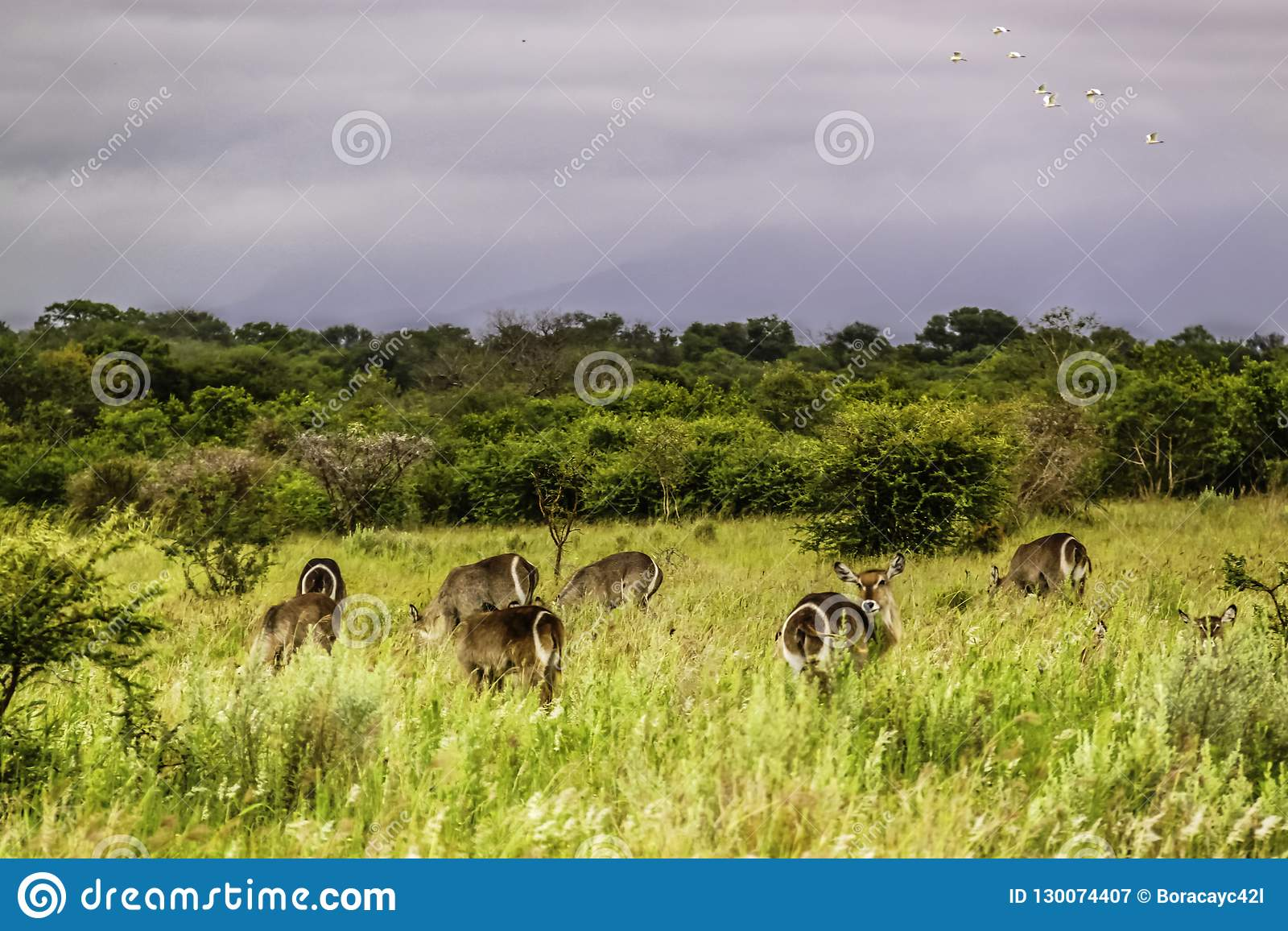 Waterbucks au parc national de Kruger