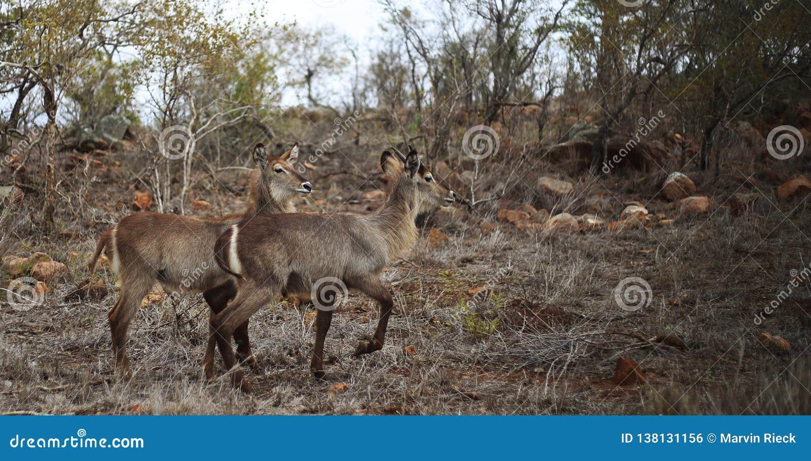 Waterbucks dans le bushland sec