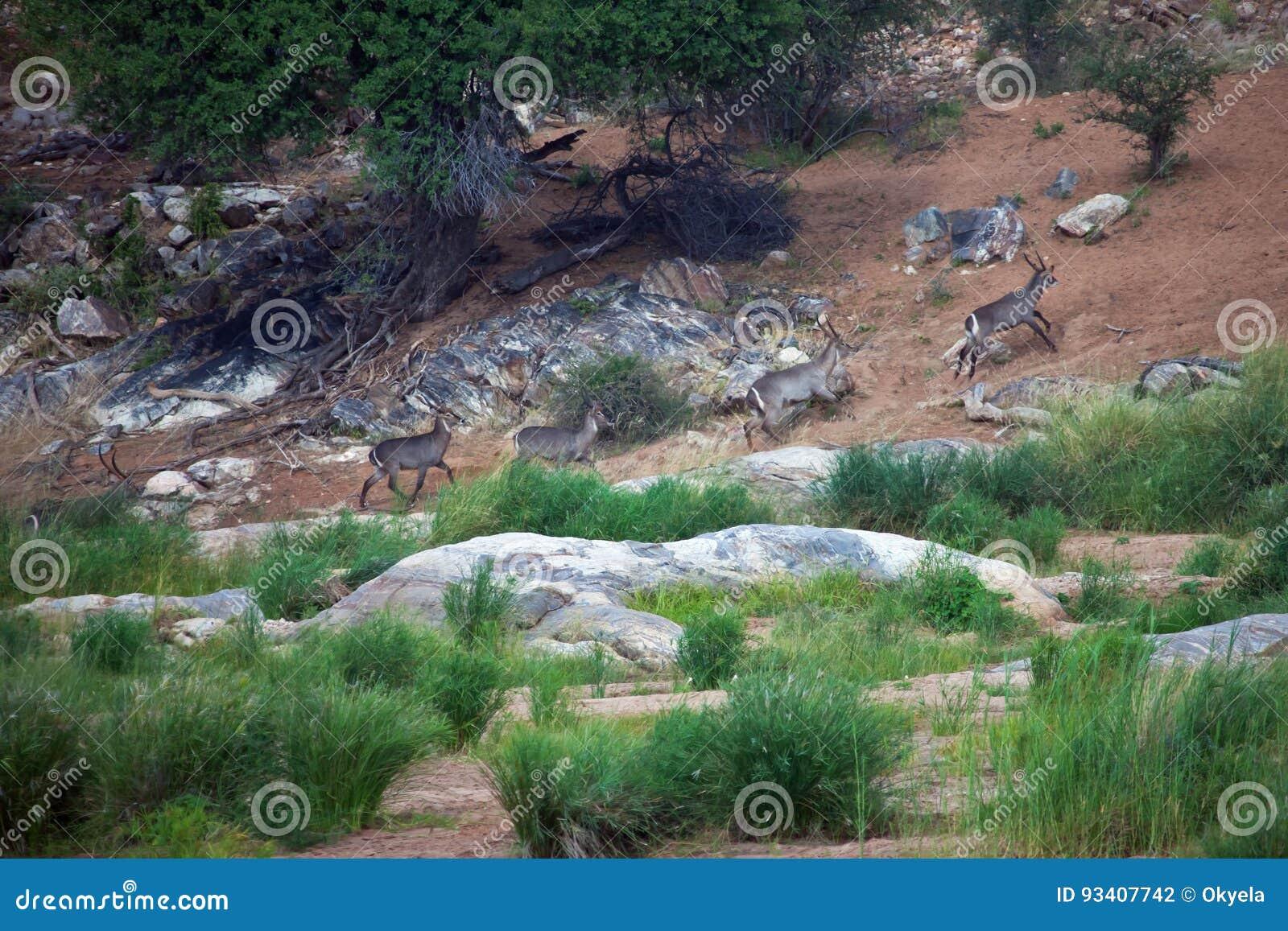 Waterbucks que corre a lo largo del río en la provincia del Limpopo