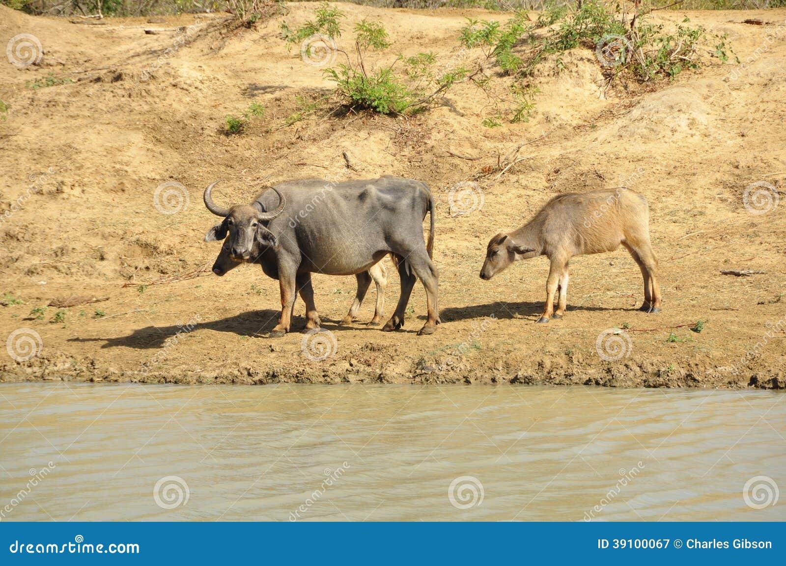 Waterbuffel (Bubalus-bubalis)