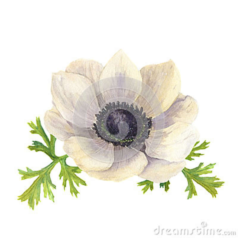 Watercolor anemone flower with leaves hand drawn floral download watercolor anemone flower with leaves hand drawn floral illustration with white background botanical mightylinksfo
