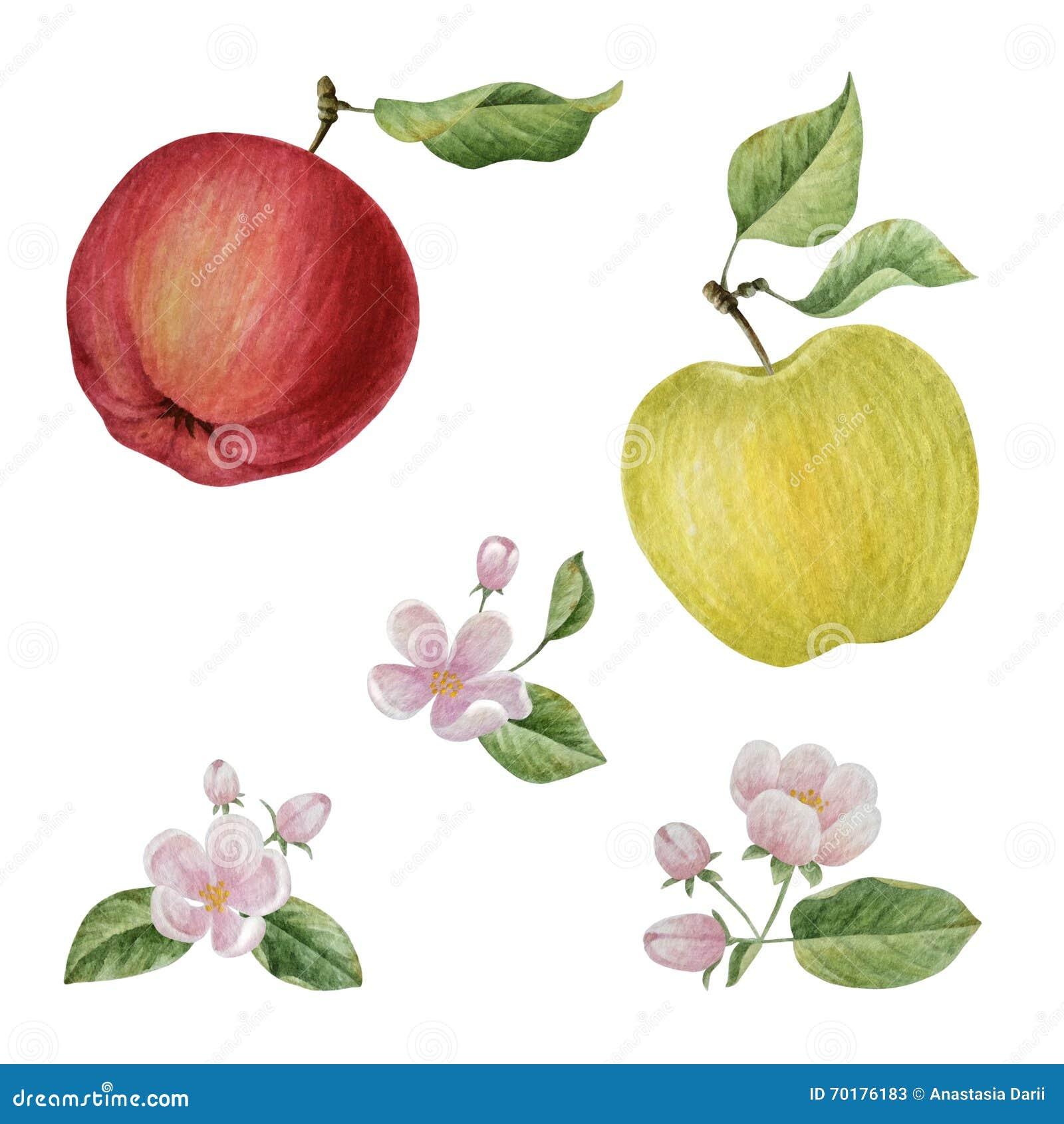 watercolor apple bloom flowers stock illustration illustration of