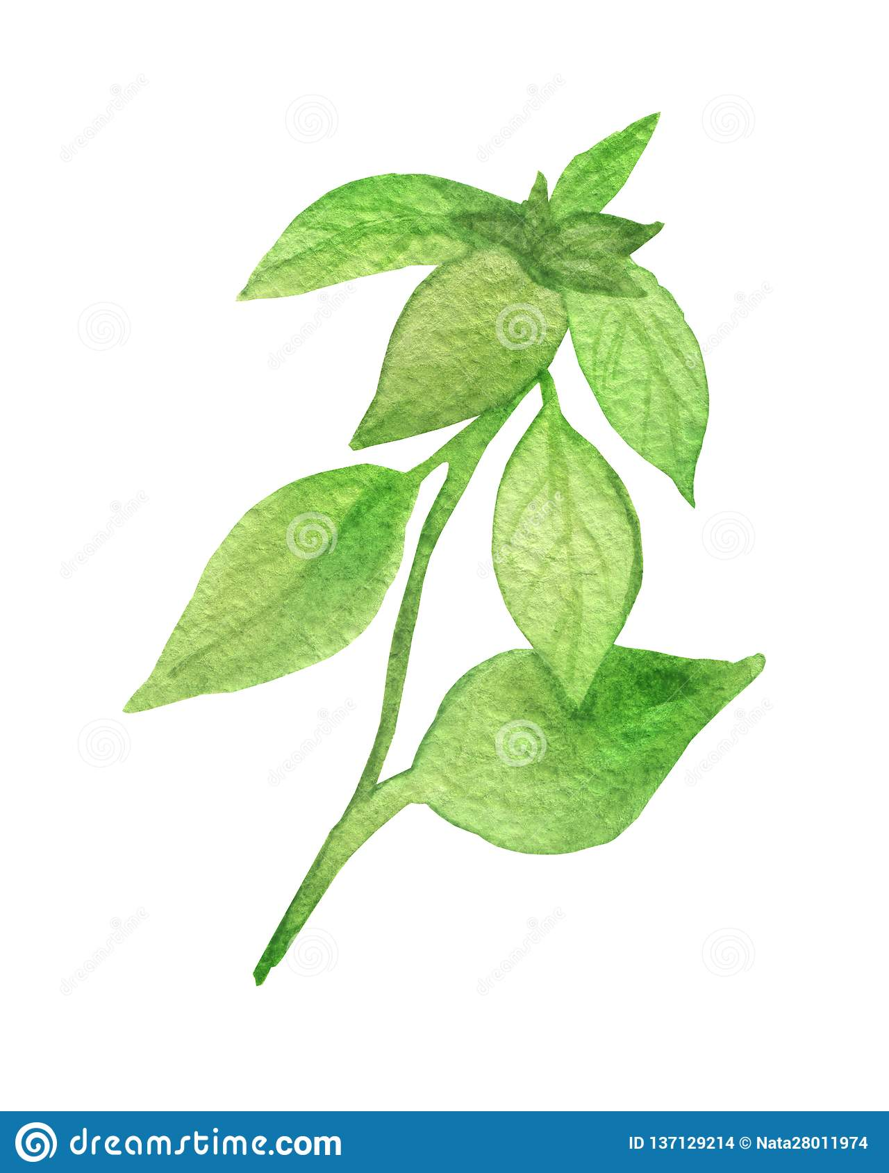 Watercolor Painting Of The Plant Green Basil. Fragrant Seasoning ...