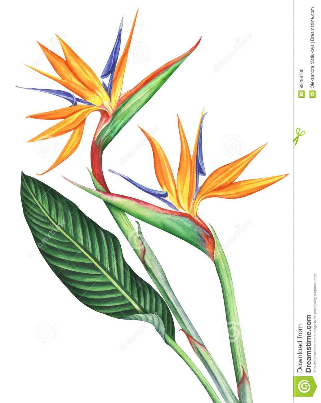 This is an image of Terrible Bird Of Paradise Drawing