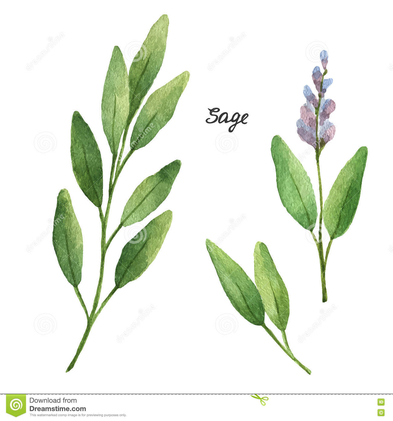 Sage Illustration Watercolor Bran...