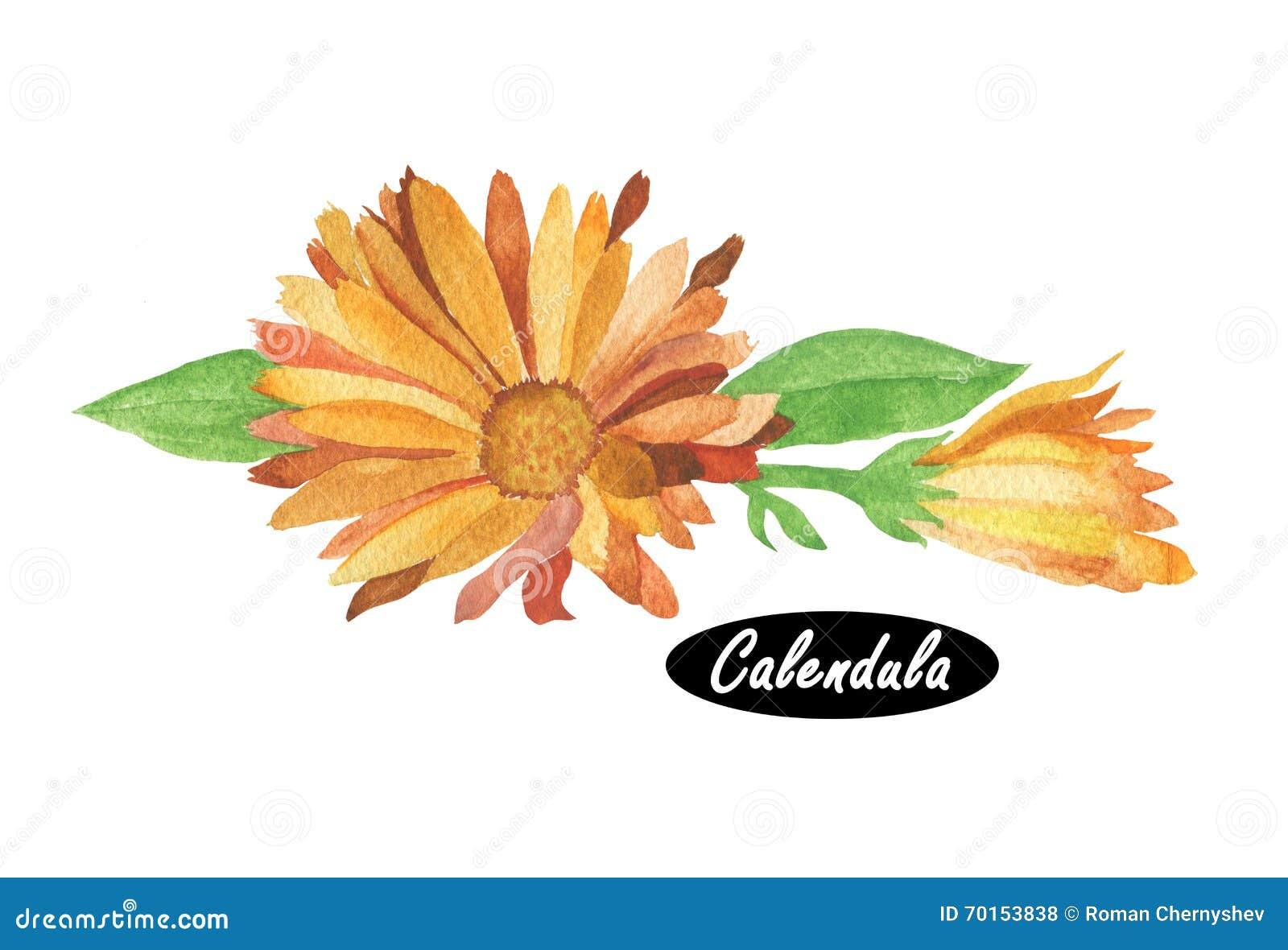 watercolor calendula illustration stock illustration illustration