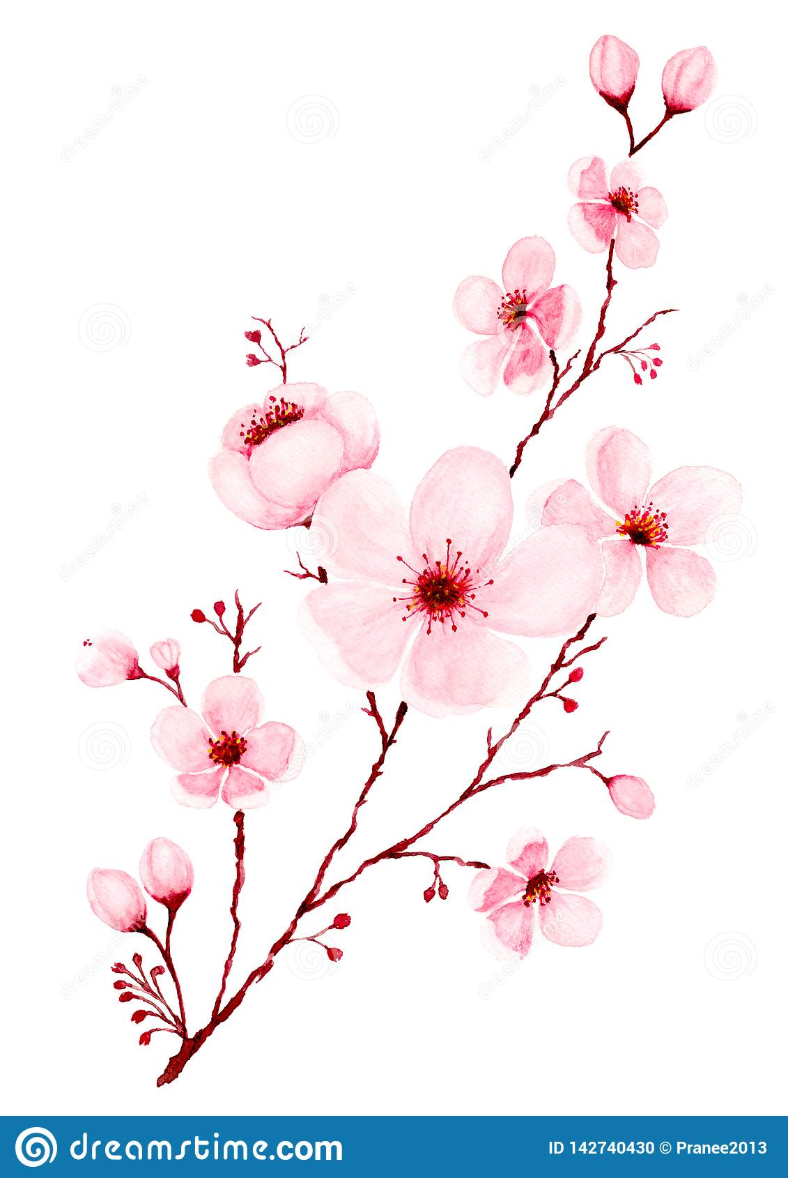 Watercolor Cherry Blossom Branch Hand Painted Stock Illustration Illustration Of Drawn Cherry 142740430