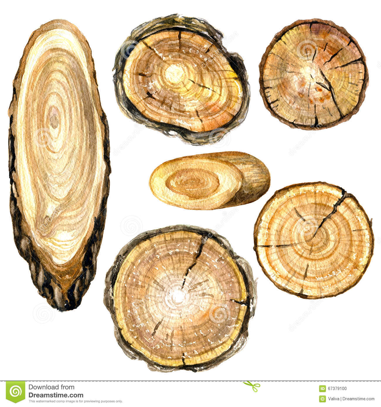 Watercolor cross section of tree trunk.