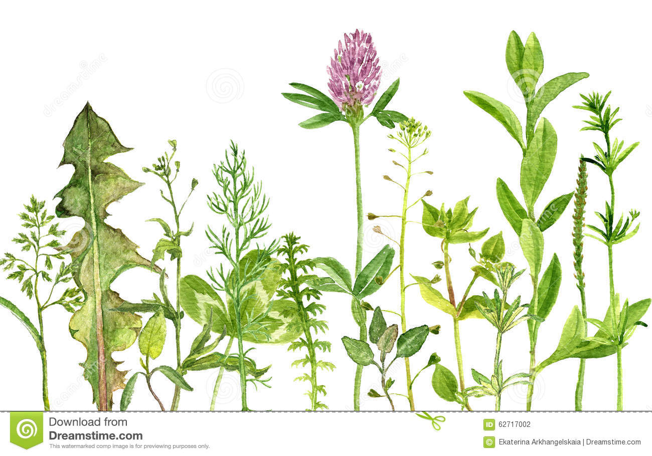 Wild Backyard Herbs : Watercolor drawing wild flowers, herbs and leaves, painted wild plants