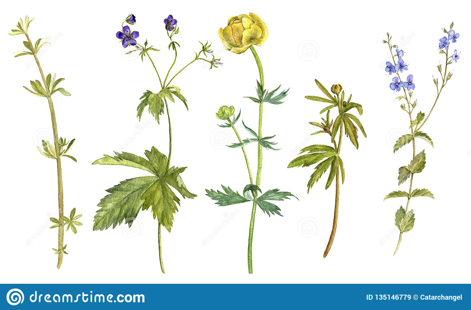 Watercolor Drawing Wild Flowers And Plants Stock Illustration Illustration Of Graphic Natural 135146779