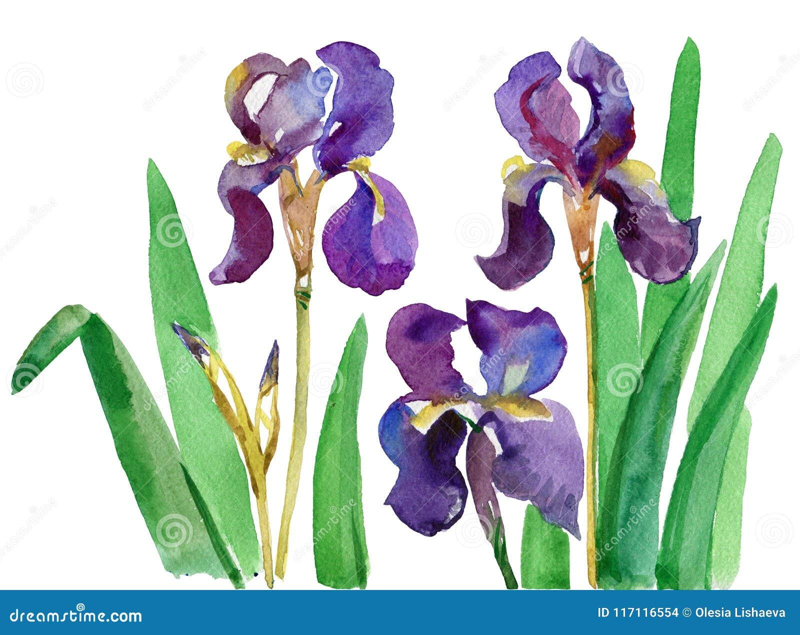 Watercolor floral print iris flowers crosses flowers of iris watercolor floral print iris flowers crosses flowers of iris watercolor hand drawn izmirmasajfo