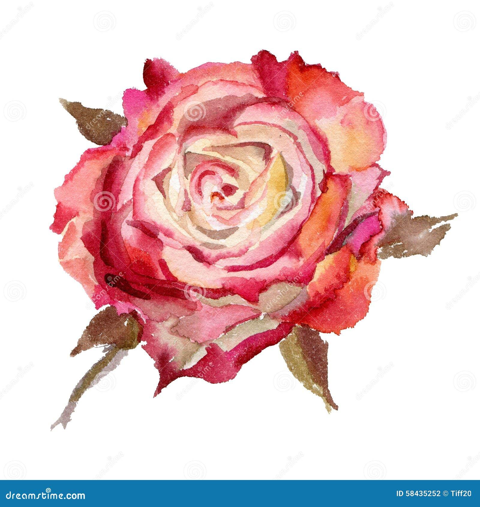 Watercolor flower. Rose stock illustration. Illustration of ...