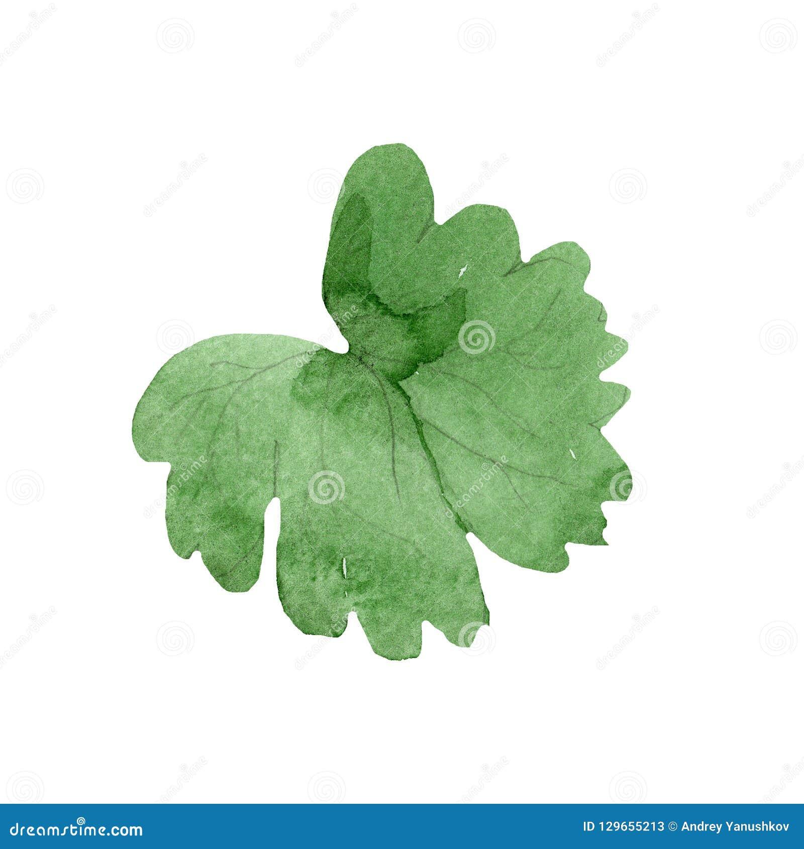 Watercolor green leaf of blue aquilegia flower. Floral botanical flower. Isolated illustration element.