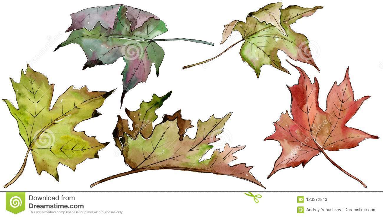 Watercolor green and red maple leaves. Leaf plant botanical garden floral foliage. Isolated illustration element.