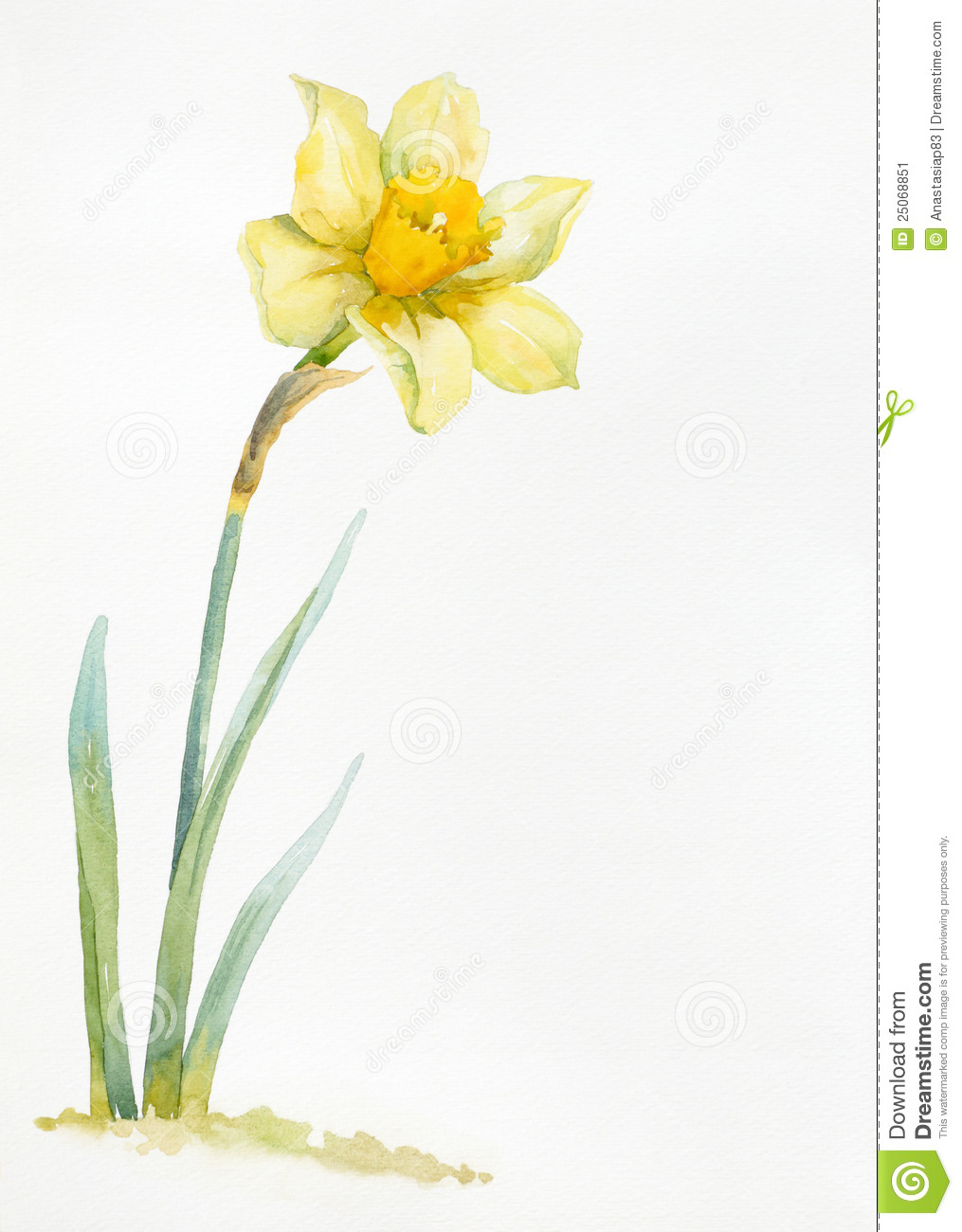 Watercolor Hand Drawn Narcissus Stock Image Image 25068851