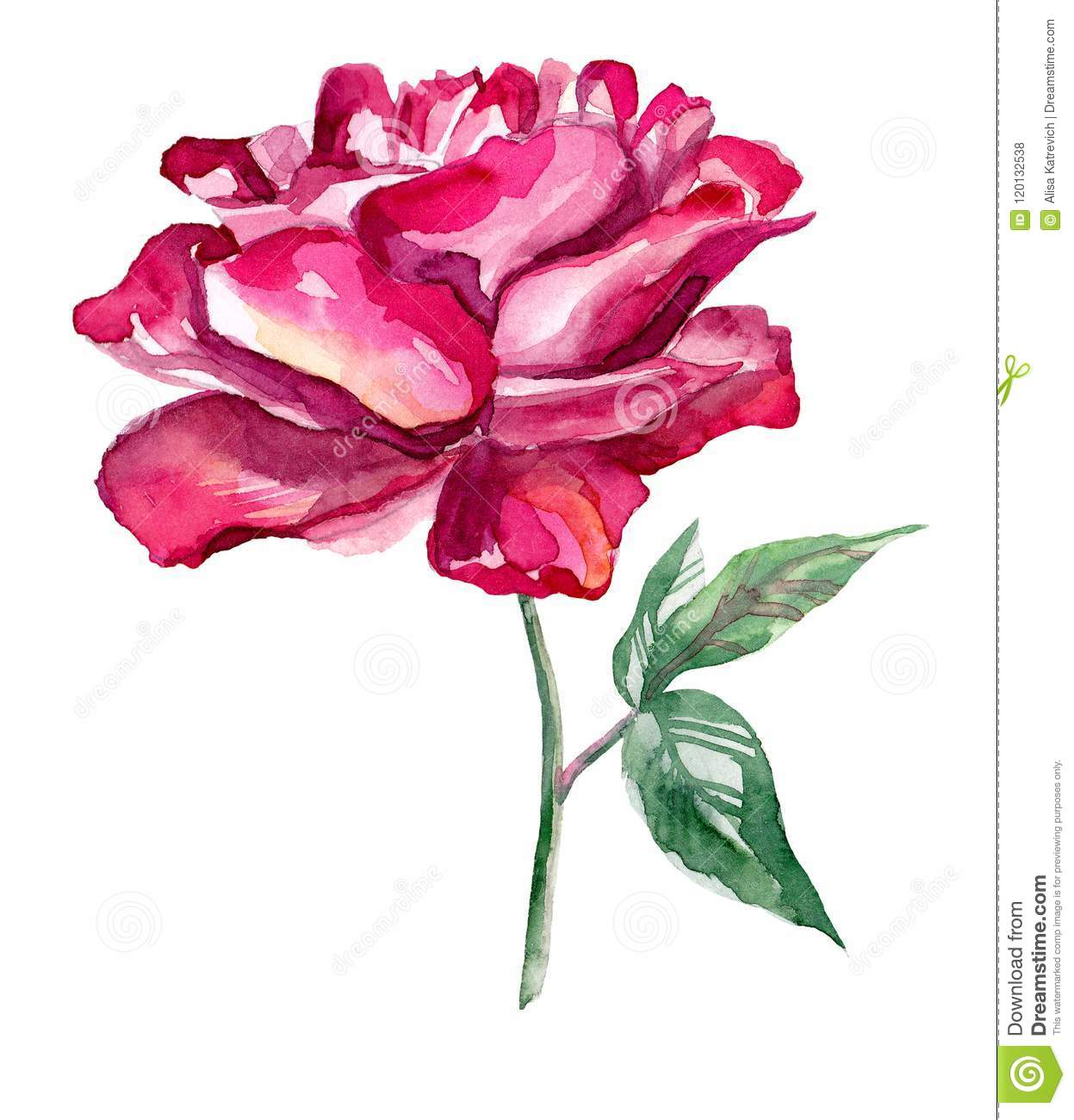watercolor hand drawn rose on white background stock illustration