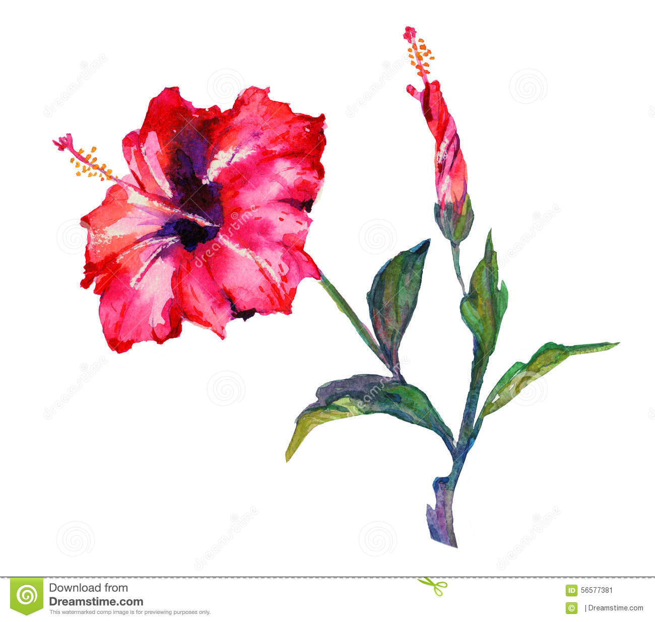 Watercolor Hibiscus Flower Stock Illustration Image