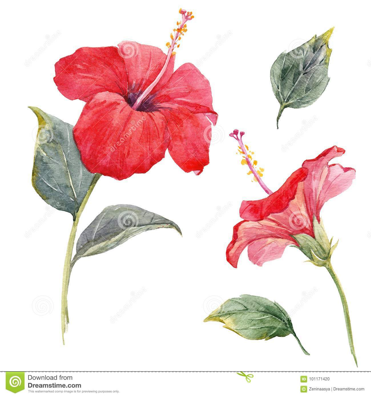 Watercolor Hibiscus Flower Set Stock Illustration Illustration Of