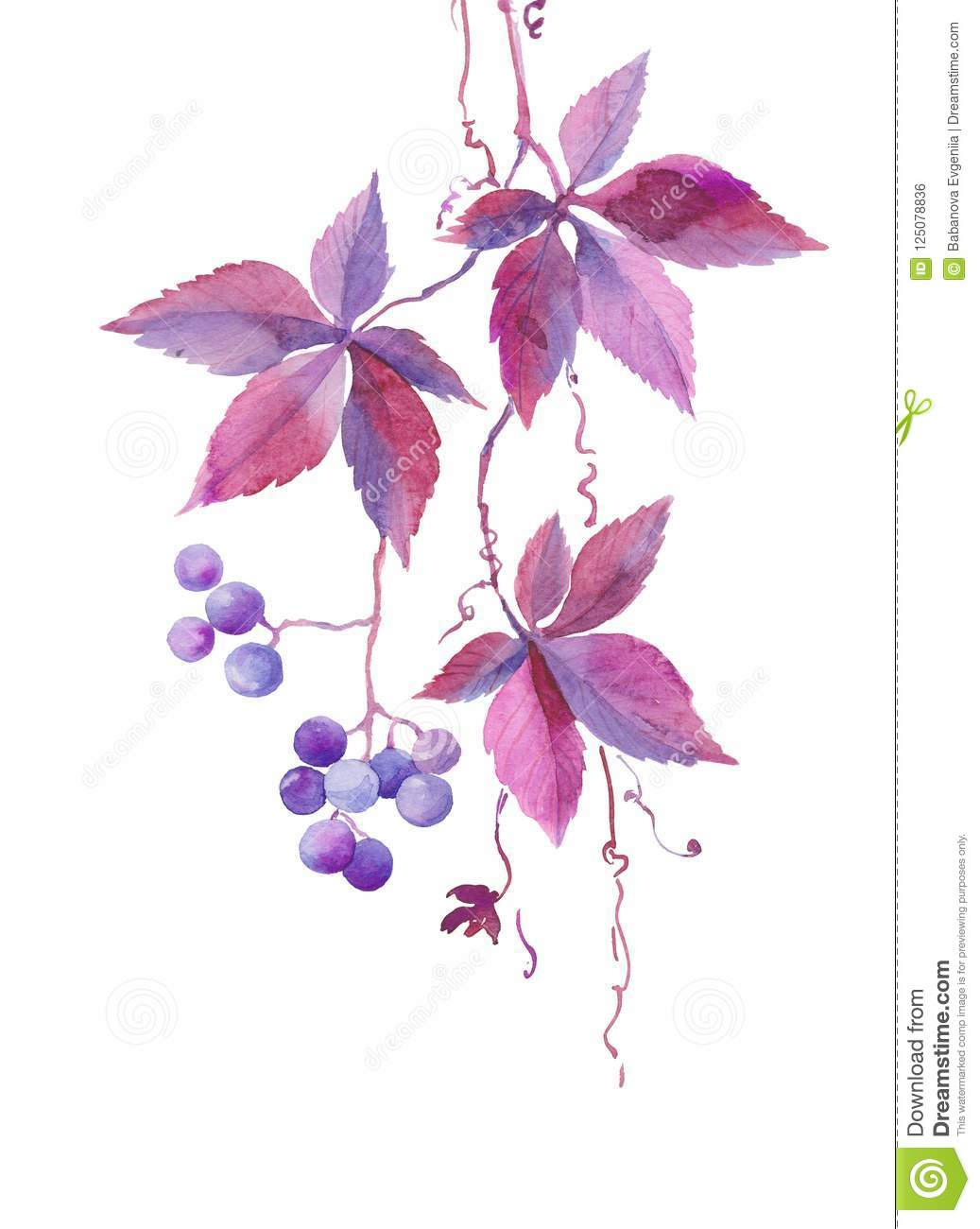 Watercolor illustration, a branch of wild girlish vine, blue violet berries, autumn plant, sketch