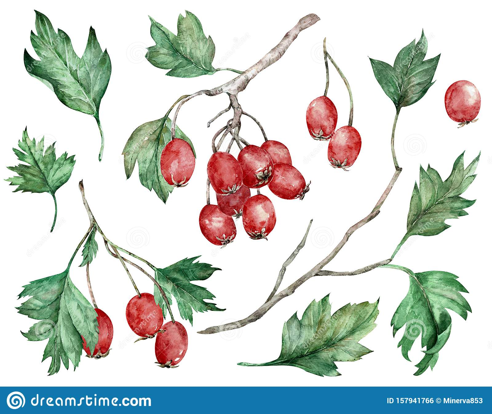 Watercolor illustration of hawthorn red berries and green leaves on branches. Botanical art. Hand-drawn clipart