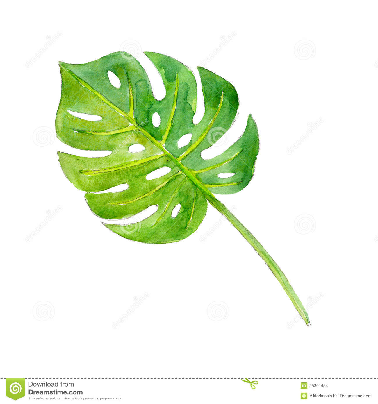 Watercolor illustration of leaf philodendron, isolate.
