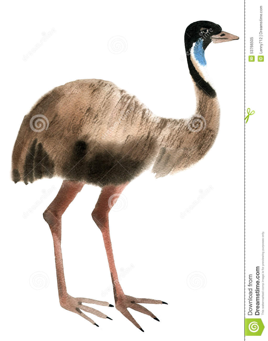 Watercolor Illustration Of Ostrich Emu In White Background