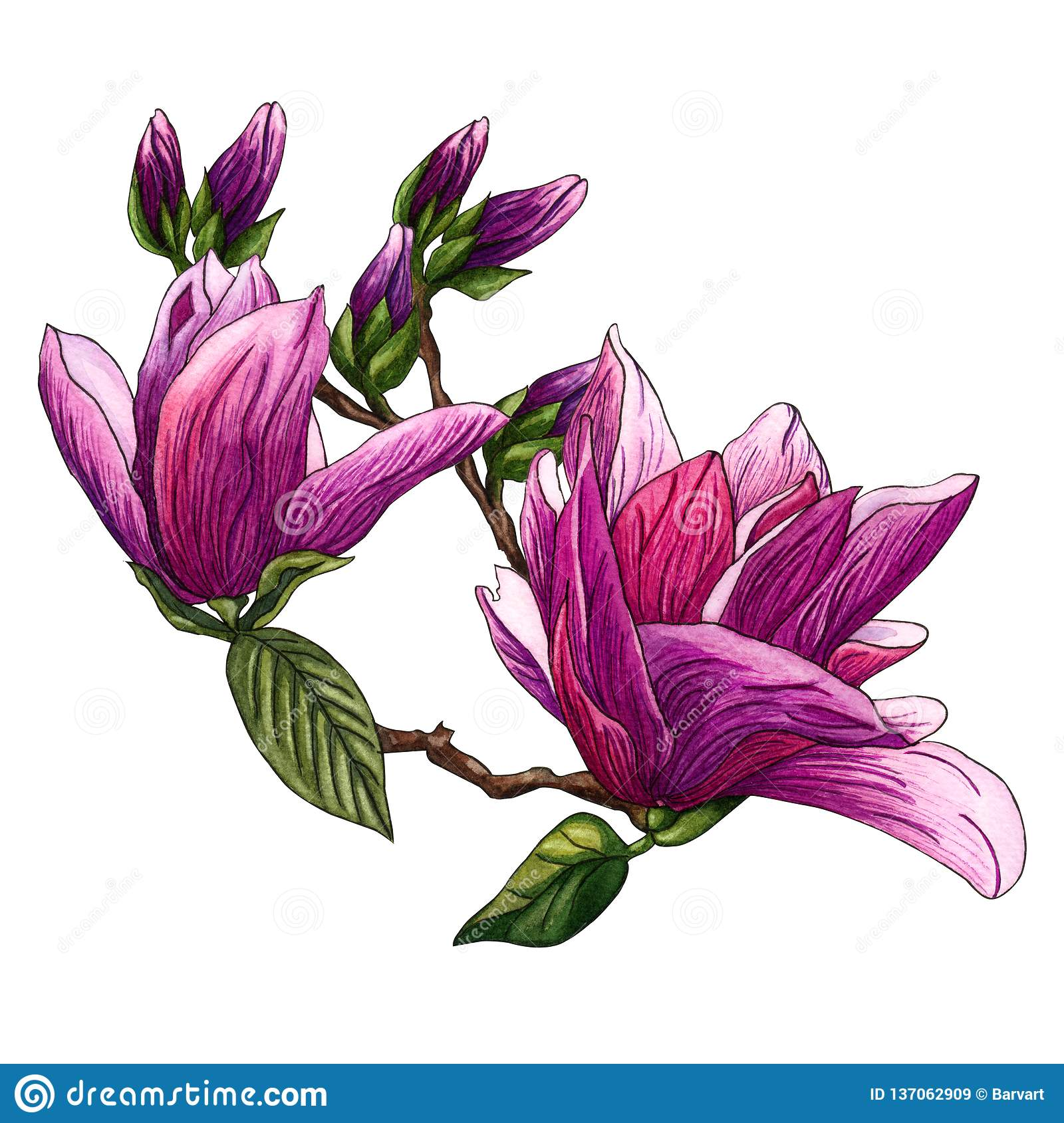 Watercolor Illustration Of Pink Magnolia Flowers Magnolia Branch