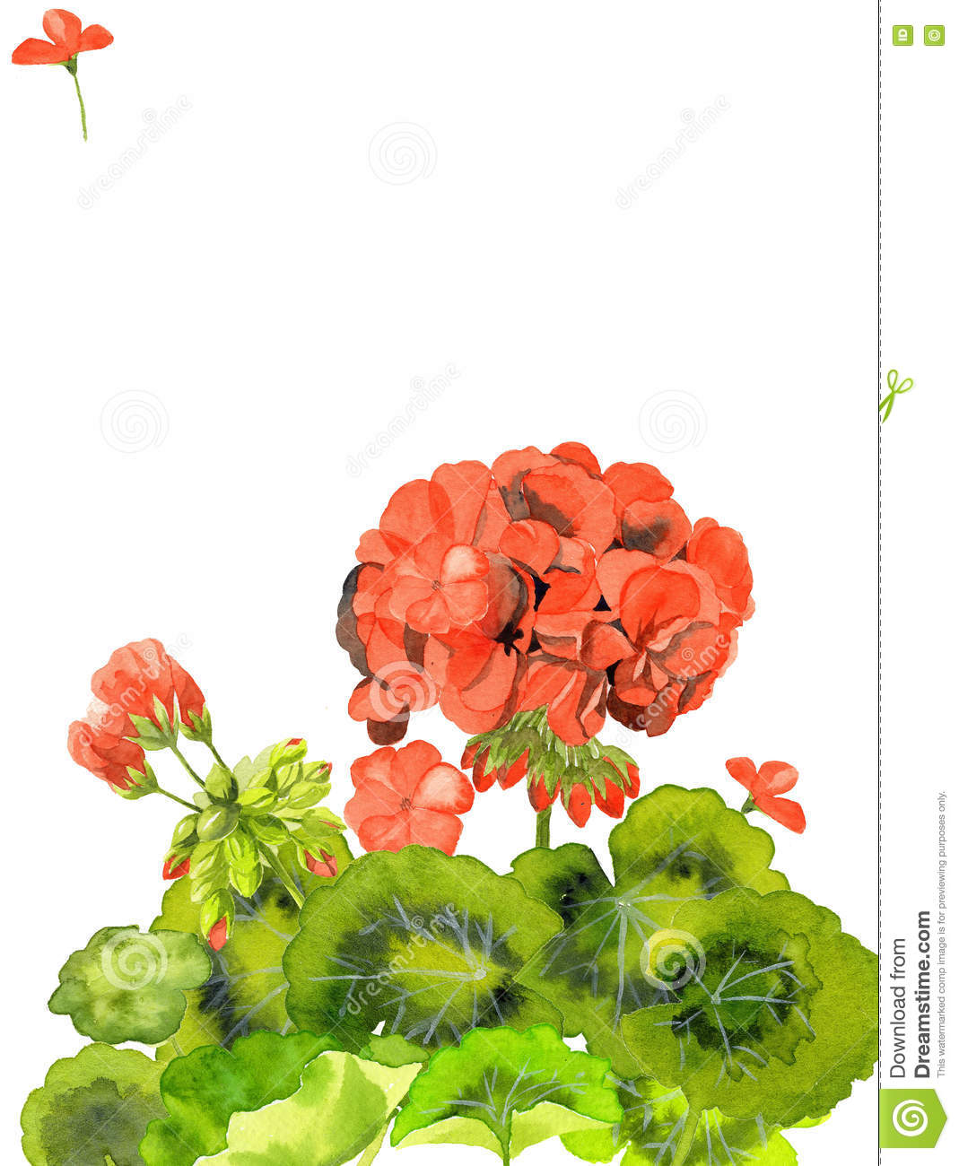 Watercolor Illustration Of Red Geranium Flowers Design Of Blank