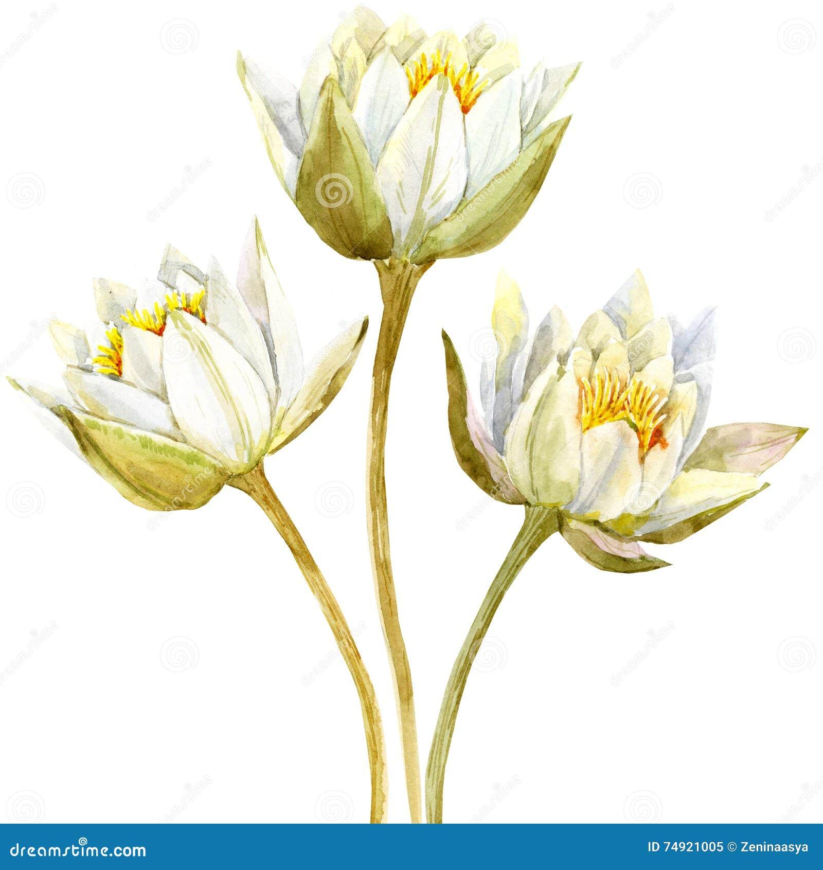 Lotus Flower Means Gallery Flower Wallpaper Hd