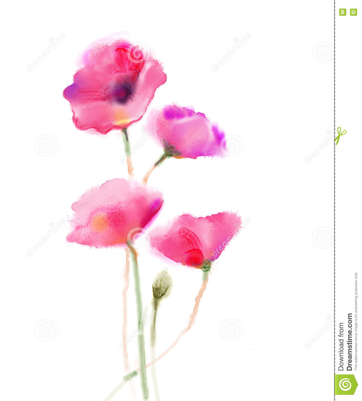 Watercolor Painting Poppy Flower Isolated Flowers On White Paper