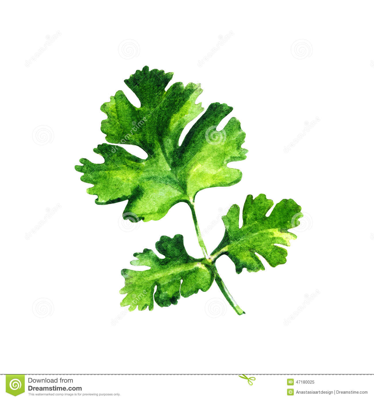Parsley Illustration Watercolor Parsley On ...