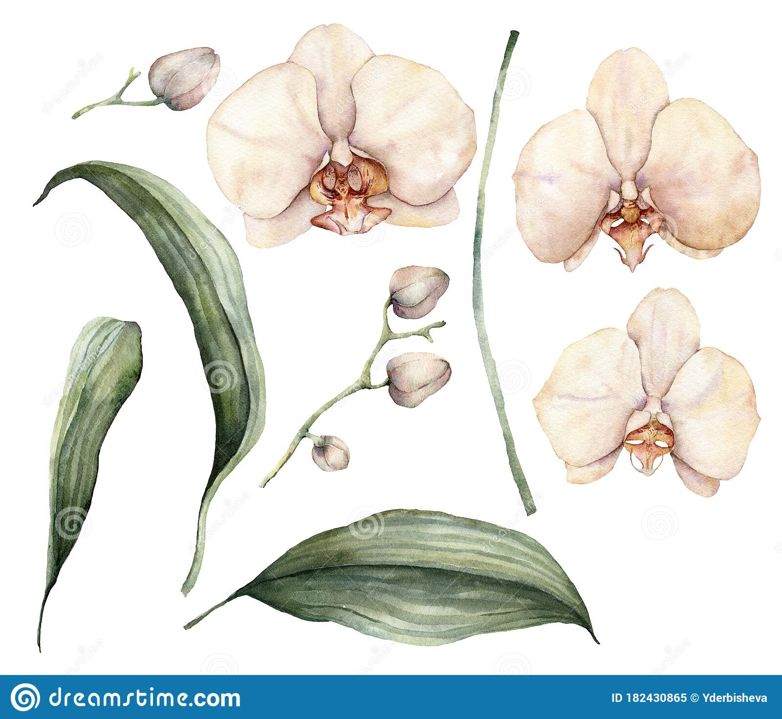 Watercolor Peach And Creamy Orchids Hand Painted Tropical Flowers Branches Leaves And Buds Isolated On White Stock Illustration Illustration Of Leaf Creamy 182430865