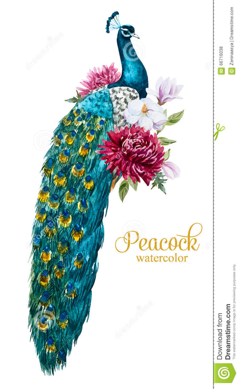 watercolor peacock with flowers stock vector   image 66716038