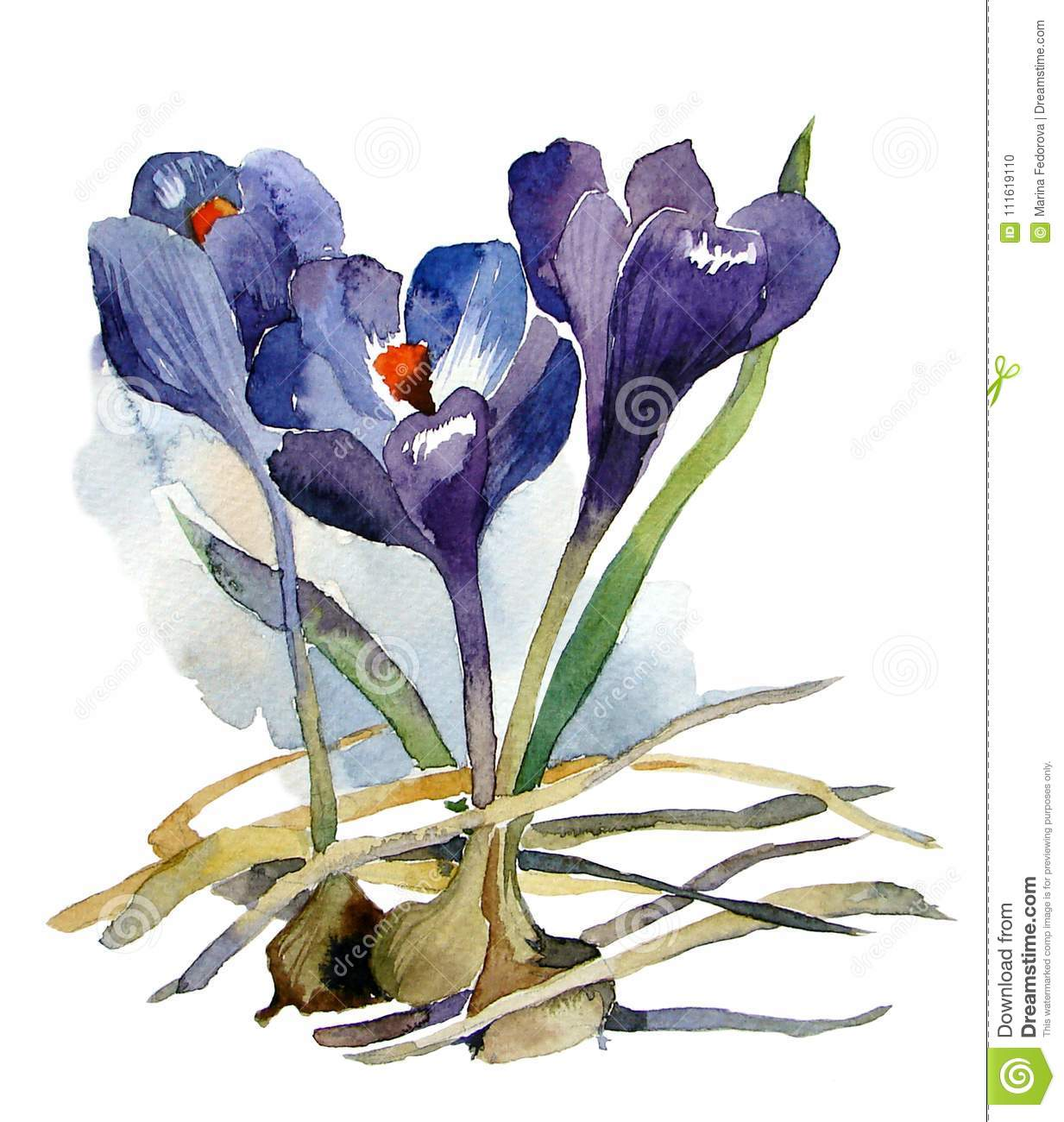 First Flowers Watercolor Purple Crocuses With Bulbs Stock