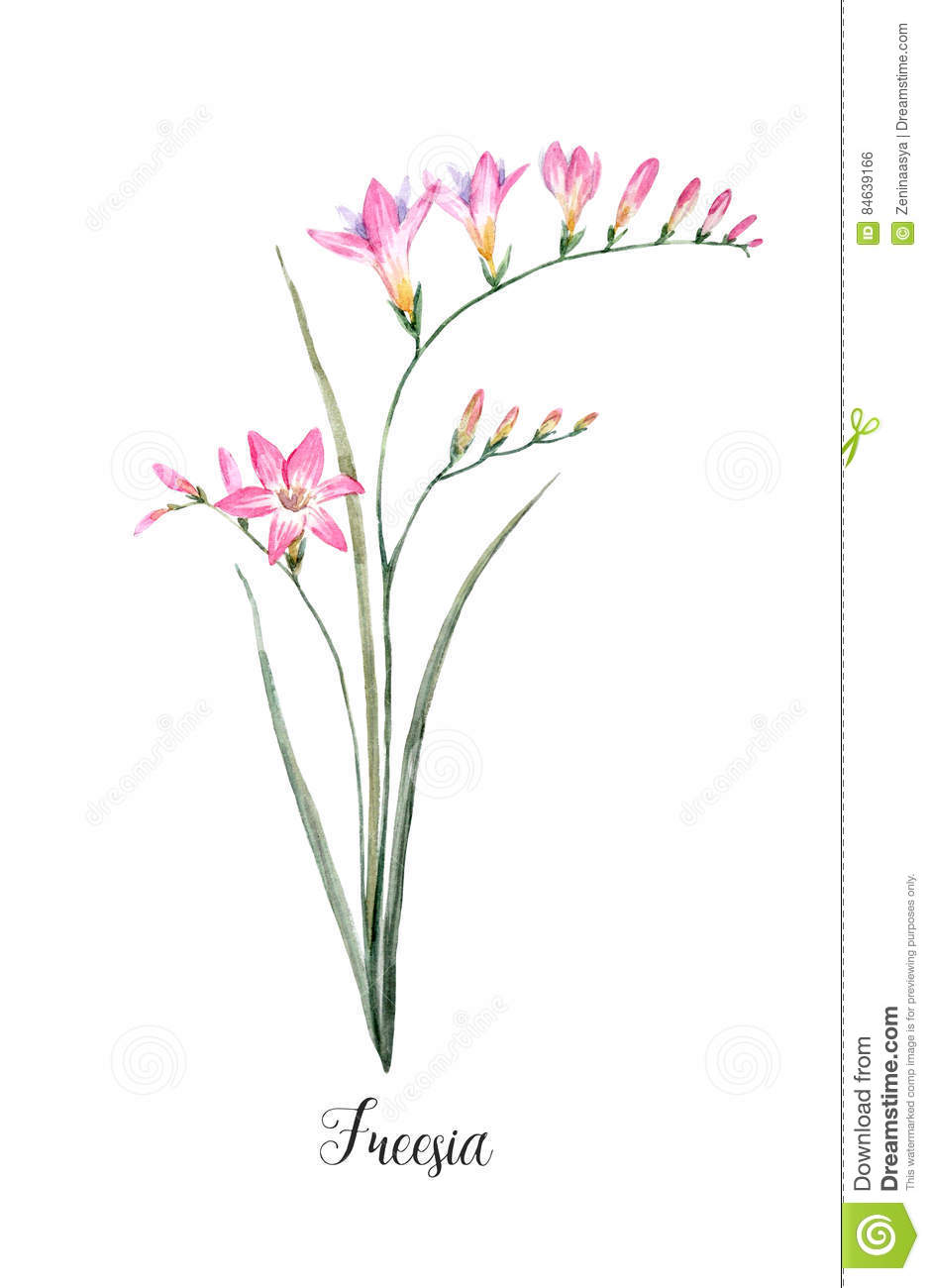 Watercolor pink freesia flower stock illustration illustration of download comp mightylinksfo